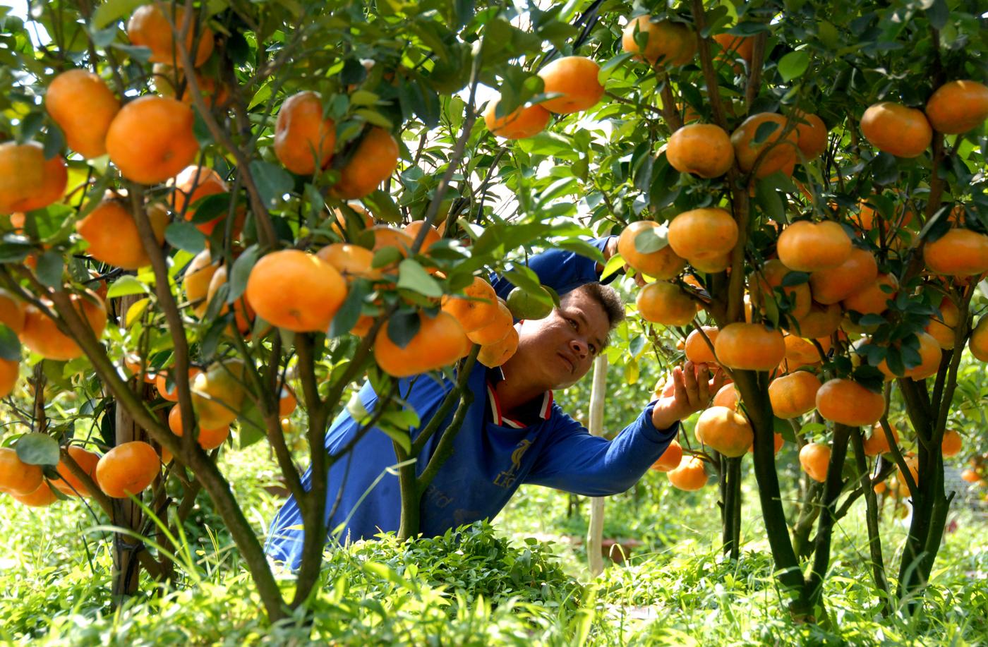 Nông dân Đồng Tháp thắt lòng với mùa nông sản Tết