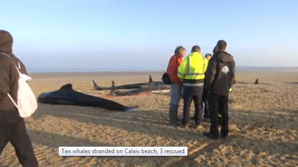 10 cá voi bị mắc cạn