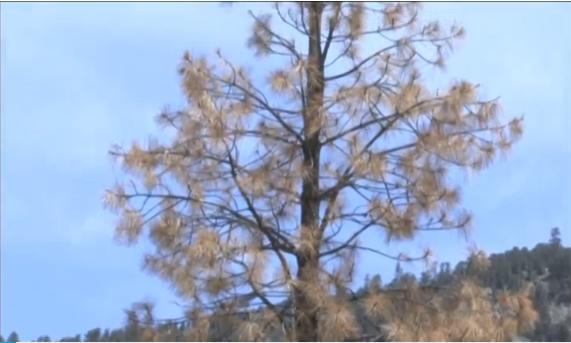 12.5 triệu cây chết vì hạn hán ở Cali