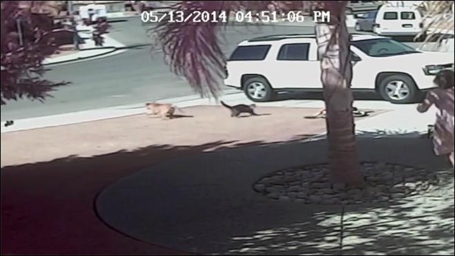 Mèo cắn và rượt chó để cứu cậu bè 4 tuổi