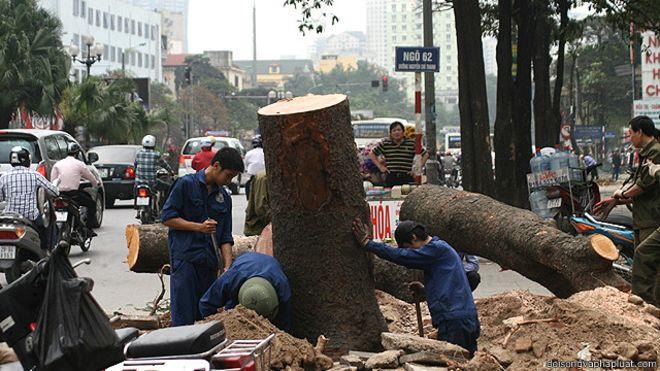 Vụ chặt hạ cây xanh Hà Nội: tướng làm, lính chịu