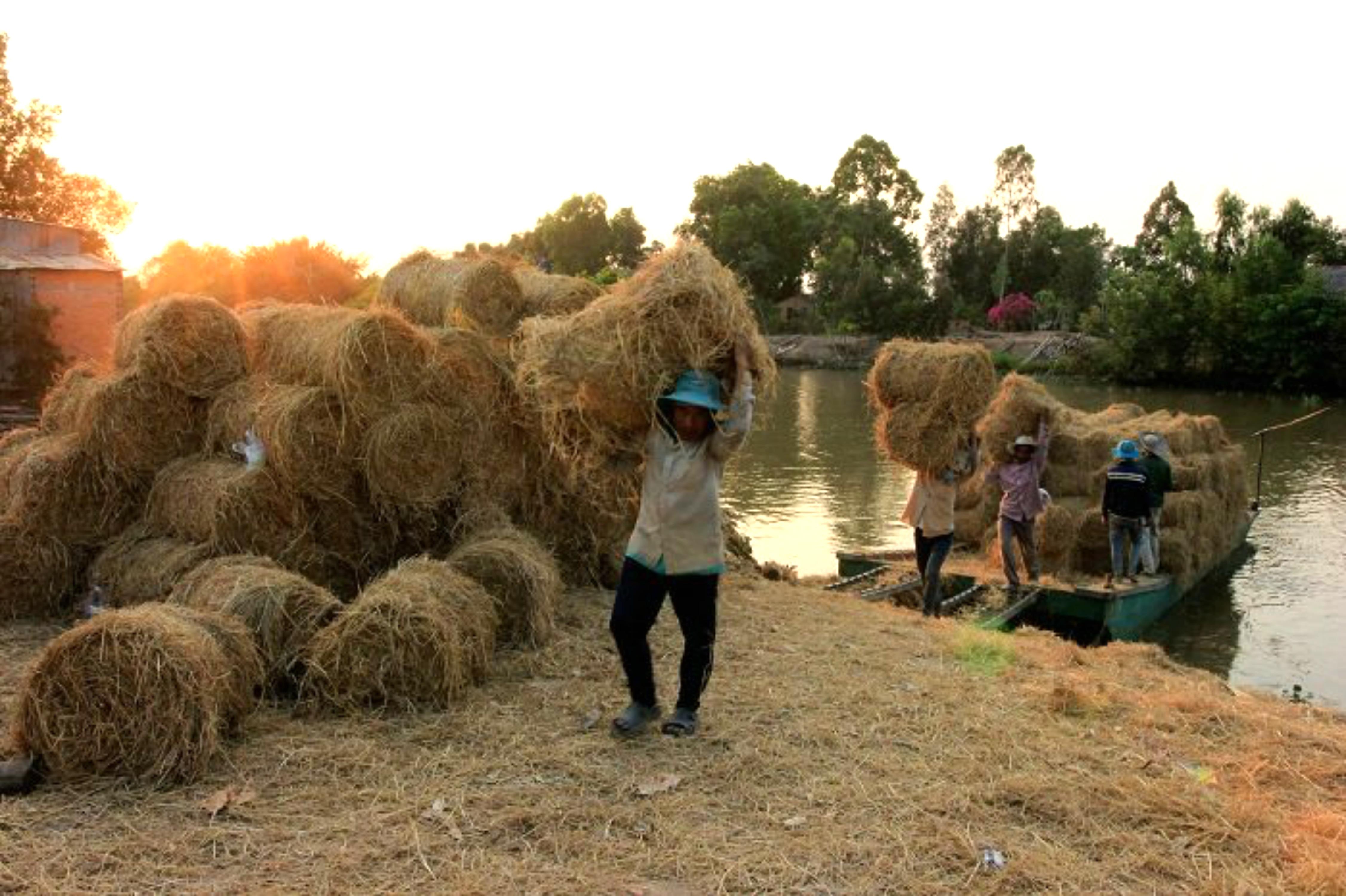 Thương lái tranh mua rơm cuộn: thêm một hậu quả của hạn mặn