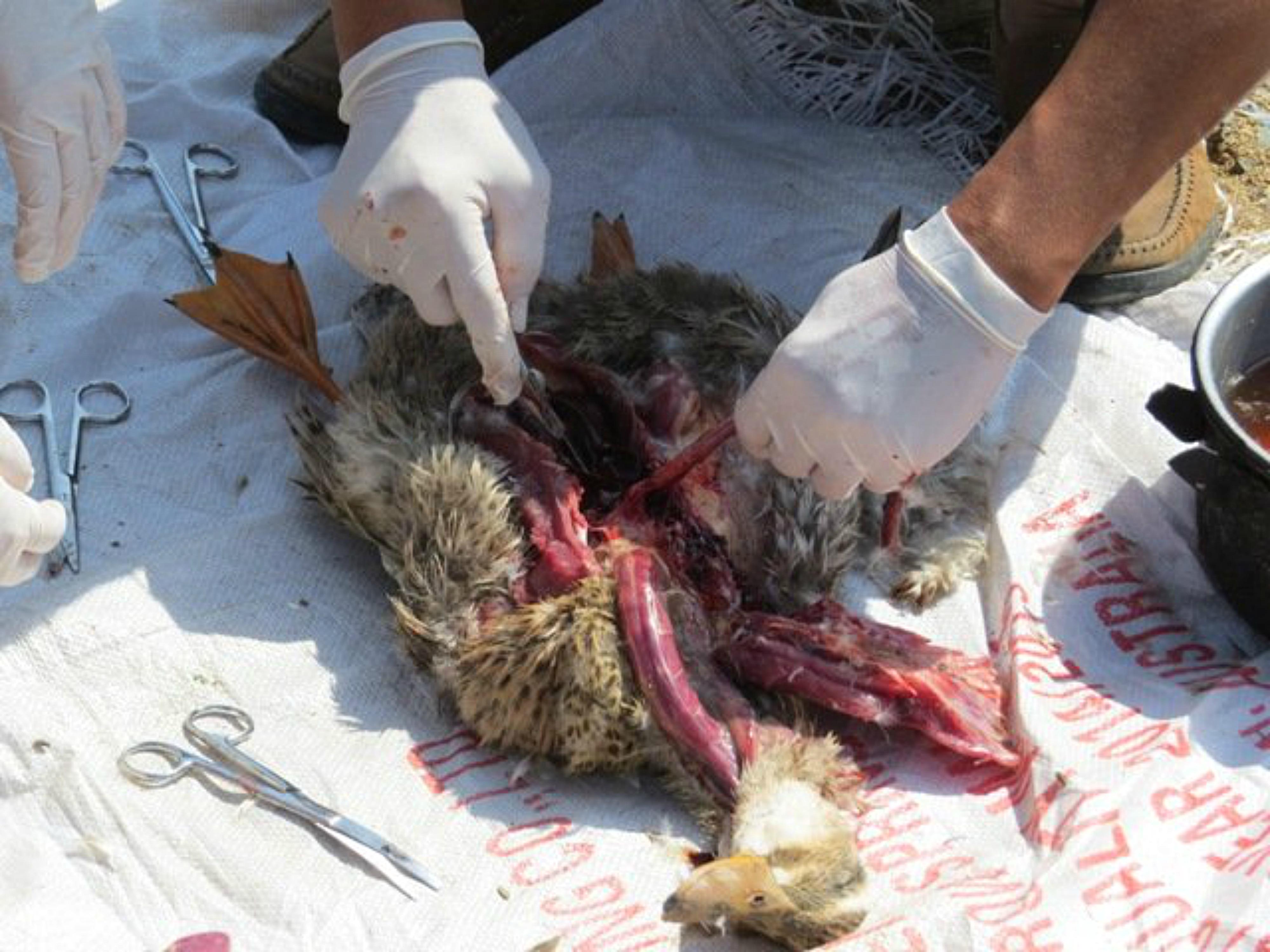 Bệnh dịch tả vịt ở Phú Yên?