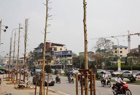 Cây mới trồng ở Hà Nội là gỗ mỡ, không phải vàng tâm