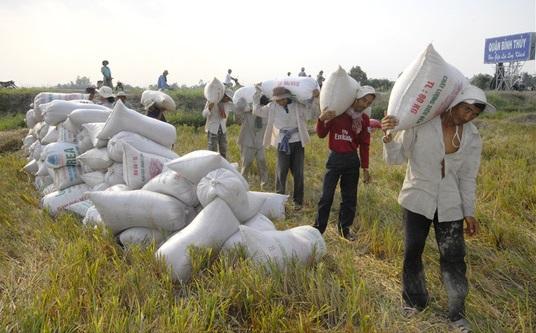 Gạo Việt có nguy cơ bị Cambodia qua mặt