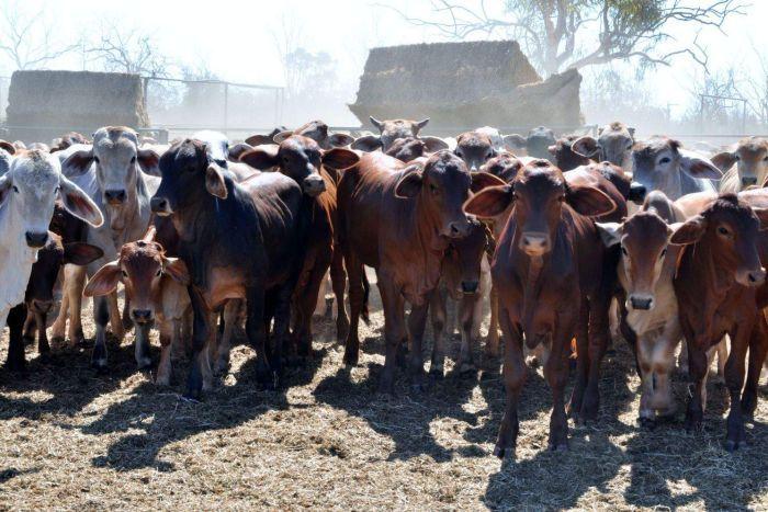 Đại gia Việt Nam mua trại nuôi bò ở Úc giá 13.6 triệu Mỹ kim