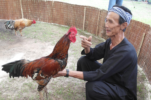 Vĩnh Long cho phép 'đá gà nghệ thuật' để thu hút du khách