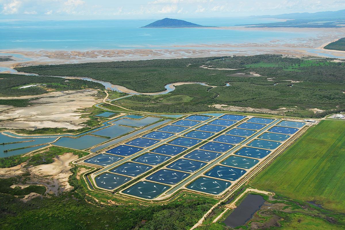 Úc cấm nhập cảng tôm xanh và tôm sống từ Việt Nam