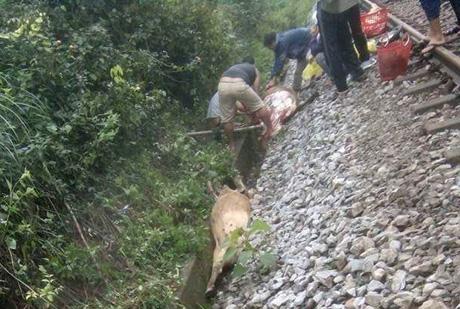 Tàu hoả đâm chết 18 con bò ở Quảng Trị chiều 29 tết