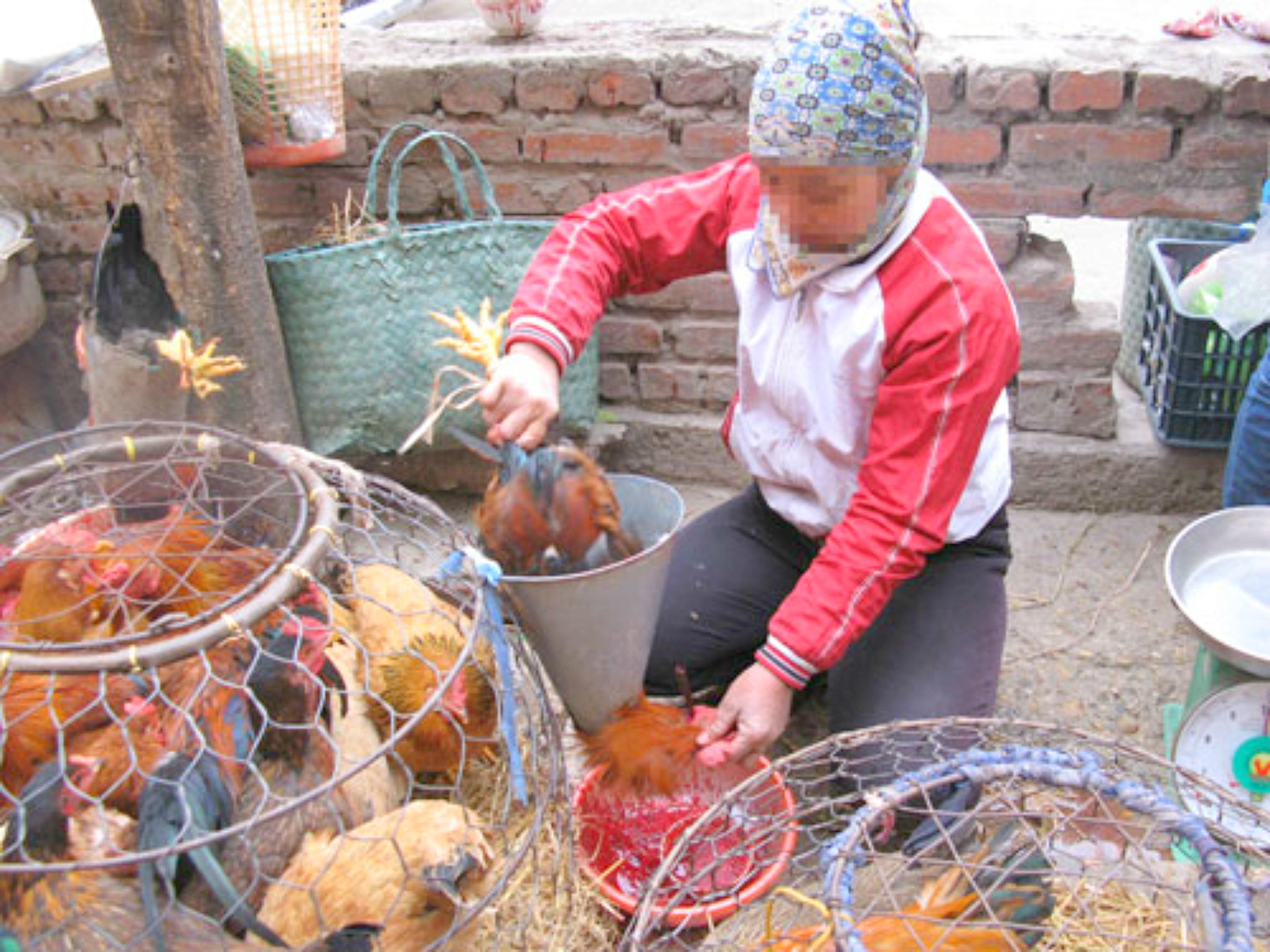 Việt Nam cảnh báo nguy cơ cúm gia cầm từ Trung Cộng