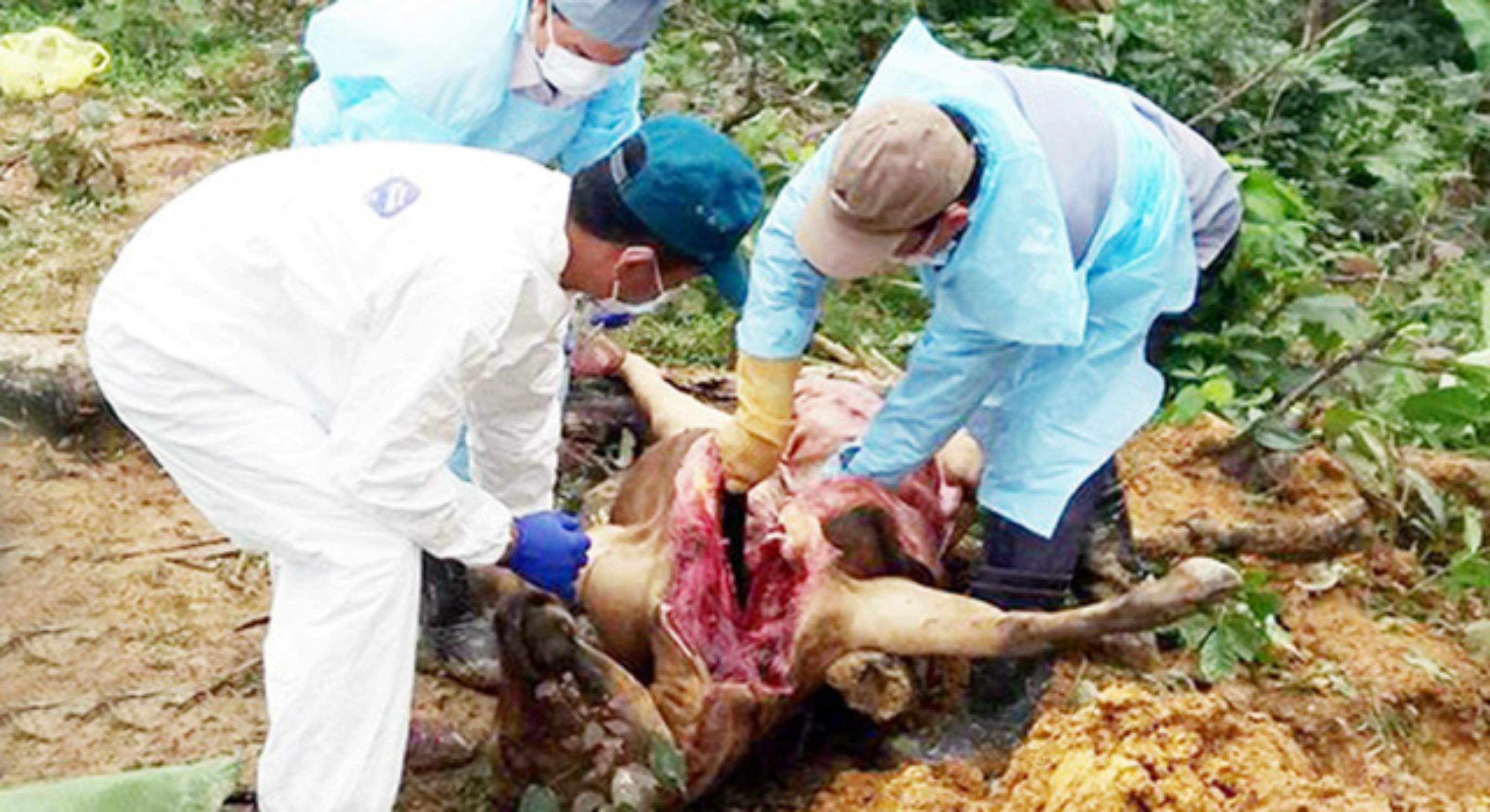 Hà Tĩnh: Heo, bò chết không rõ nguyên nhân