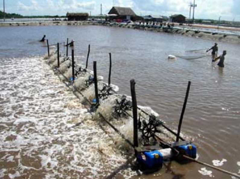 Gạo thất thế, Việt Nam muốn tăng gấp 3 sản lượng tôm xuất cảng