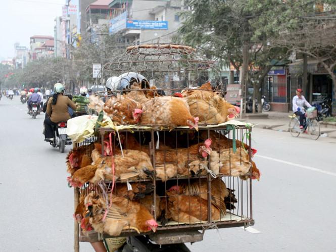 Việt Nam vất vả đối phó với cúm gà từ Trung Cộng sang