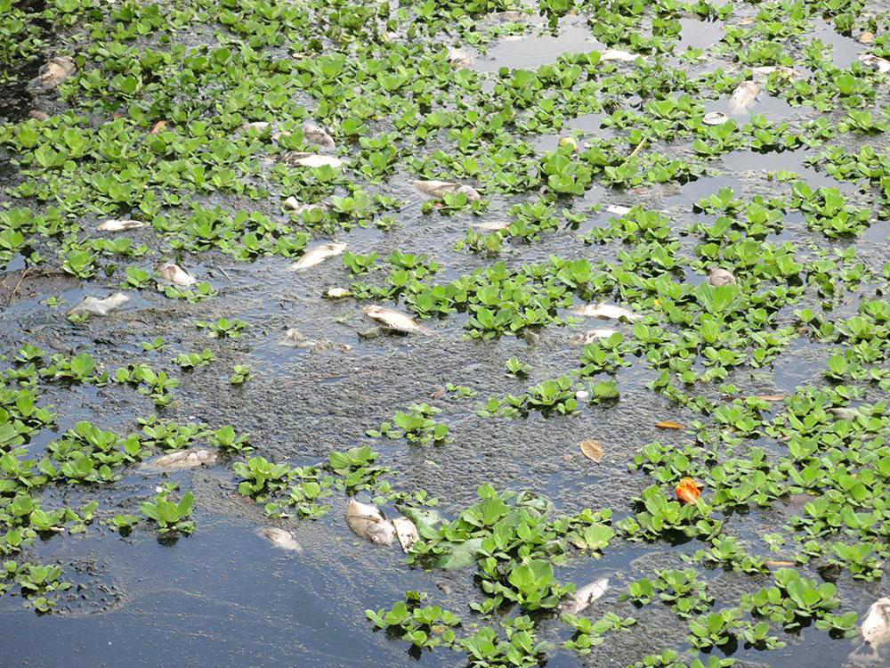 Cá lại chết hàng loạt ở hồ Bàu Trảng, Đà Nẵng