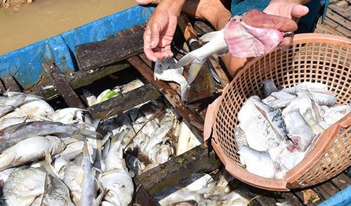 Vớt hơn 3 tấn cá chết ở thượng nguồn sông Sài Gòn