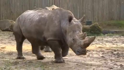 Tê giác trắng bị bắn chết và bị cưa sừng tại sở thú ở Pháp