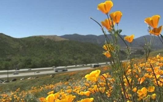 Những cánh đồng đầy hoa dại nở tuyệt đẹp ở Nam California