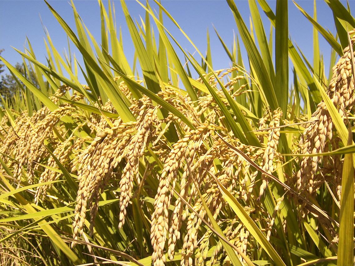 Lúa ở đồng bằng sông Cửu Long không có ai mua