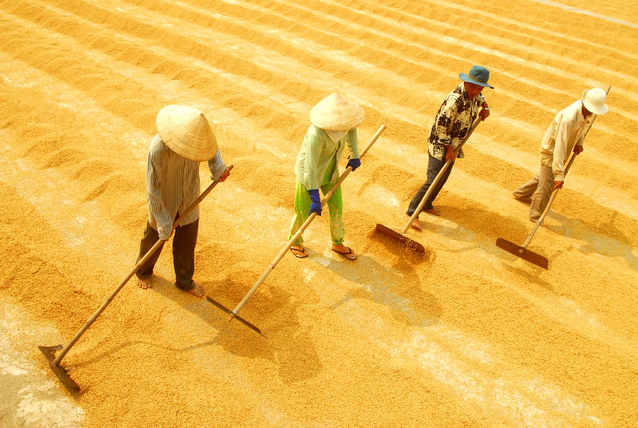 Thiếu tầm nhìn phát triển, gạo Việt Nam đang mất thị trường
