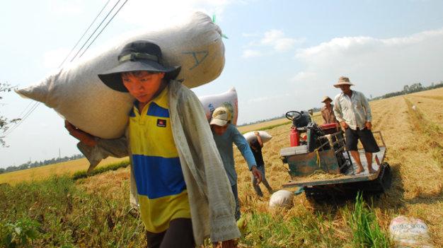 Nông dân lao đao vì lúa ở đồng bằng sông Cửu Long không ai mua