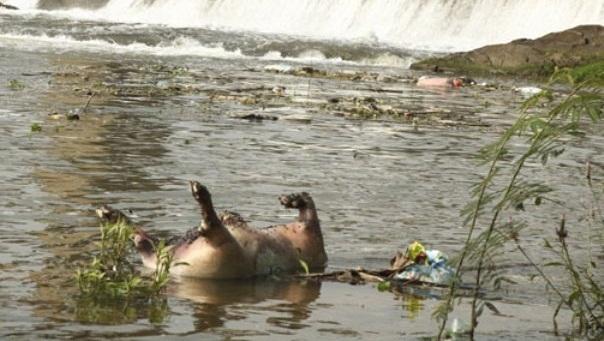 Do heo mất giá, dân Tuyên Quang bỏ heo chết đói, vứt xác xuống sông
