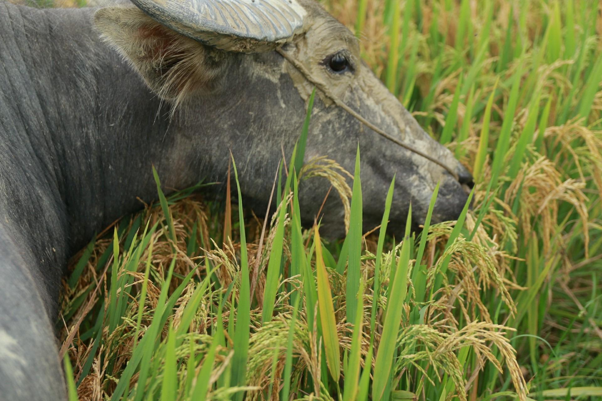 Nông dân Hà Tĩnh có nguy cơ mắt trắng vụ lúa đông xuân tình nghi do giống lúa