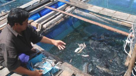 Cá bớp chết hàng loạt ở Sông Đốc, Cà Mau