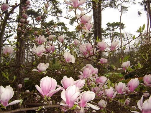Quốc Tế giúp Việt Nam trồng cây mộc lan sắp bị tiệt chủng