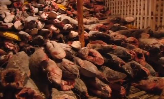 Ecuador bắt tàu treo cờ Trung Cộng chở đầy sinh vật biển có nguy cơ tuyệt chủng