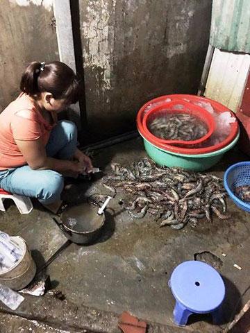 Tôm ở Hà Nội bị bơm tạp chất để tăng trọng lượng