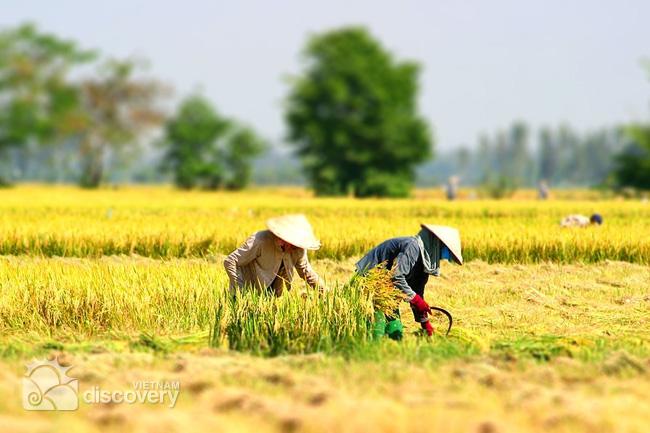 Giới phân tích khuyên Việt Nam nên giảm diện tích trồng lúa