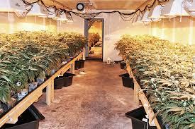Công dân Việt Nam lại ra toà ở Anh về tội trồng cần sa bất hợp pháp