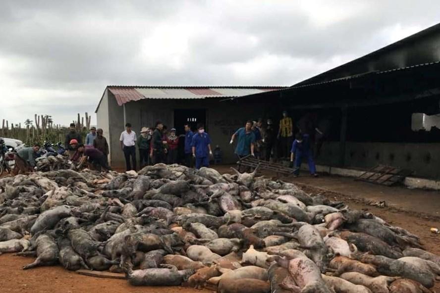 Trại chăn nuôi ở Đắk Nông chập điện, hơn 1,200 con heo chết cháy