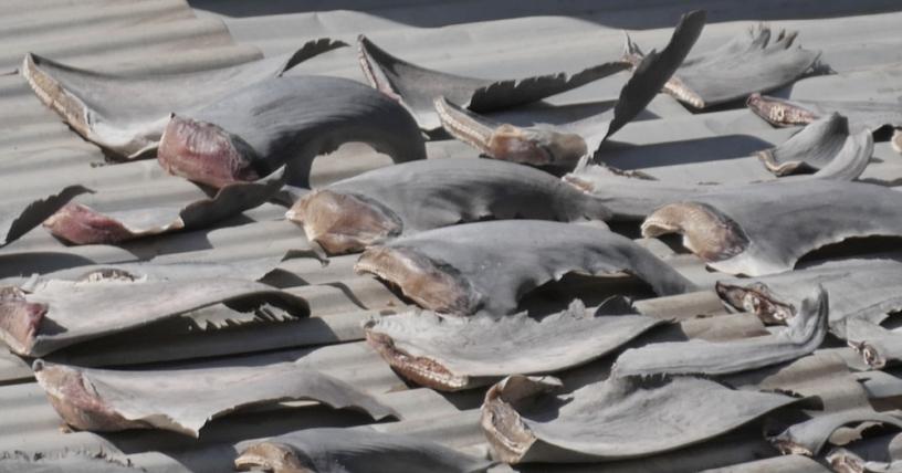 Nhân viên kinh tài CSVN ở Chile khai mua vi cá mập 'sử dụng trong gia đình'