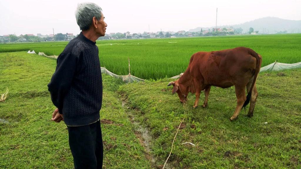 Trâu bò ra đồng phải đóng thuế gặm cỏ ở Thanh Hóa