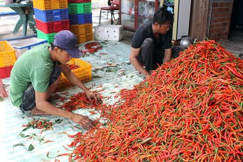 Tiếp tục tìm thấy nhiều chất độc trong ớt bột và ớt khô Việt Nam