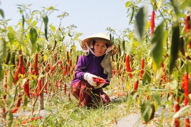 Quảng Trị bắt mỗi công chức mua 9 kg ớt