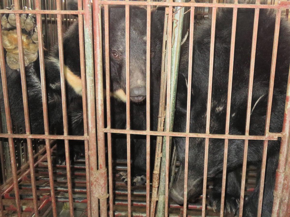 Kỹ nghệ mật gấu Việt Nam suy sụp đe dọa gần 1,000 gấu nuôi trong chuồng