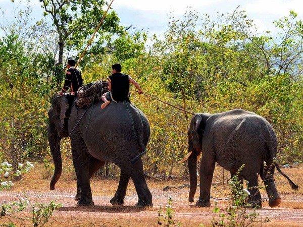 Vườn quốc gia Yok Đôn ngưng cho du khách cưỡi voi