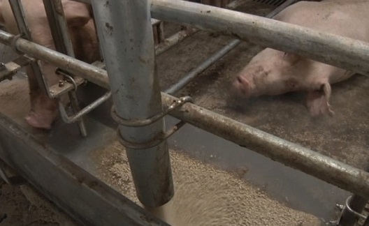 Trung Cộng và Mexico sẽ tăng thuế thịt heo nhập cảng từ Mỹ