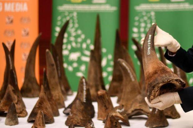 Mã Lai bắt giữ số lượng kỷ lục 50 sừng tê giác gửi đi Việt Nam