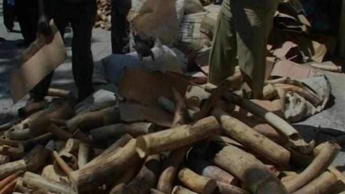 Điều tra ngầm EIA: Việt Nam là trung tâm buôn ngà voi quốc tế ngày càng lớn