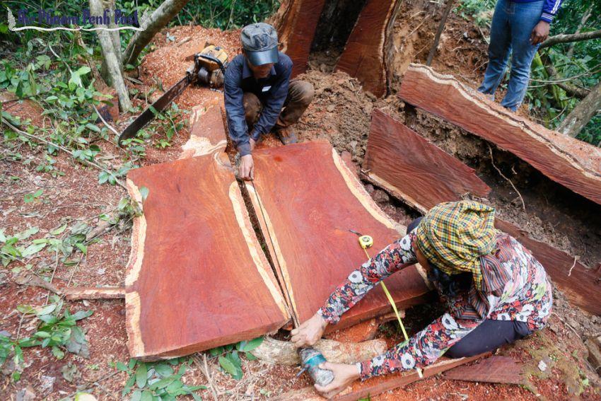 Cambodia tố cáo CSVN đồng lõa đánh cắp gỗ hồng xiêm