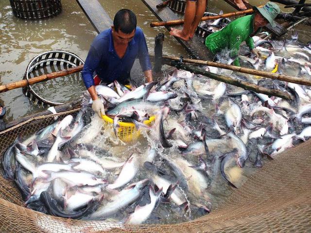 Việt Nam lo bị các nước sản xuất cá ba sa khác cạnh tranh