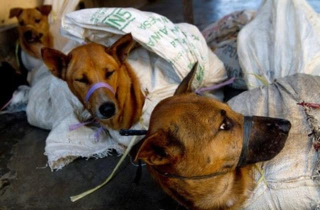 17 công nhân Việt Nam bị bắt vì ăn thịt chó ở Đài Loan