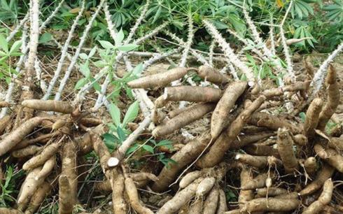 """Hàng loạt nông sản Việt Nam lao đao vì bị """"bạn vàng"""" Trung Cộng ngừng thu mua"""