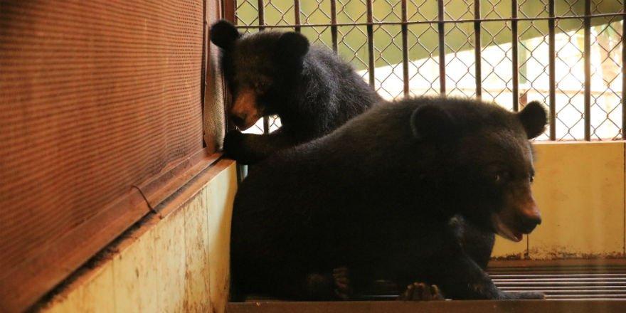 Cứu hai gấu con khỏi rạp xiếc ở Hà Nội, đưa về khu bảo tồn thiên nhiên