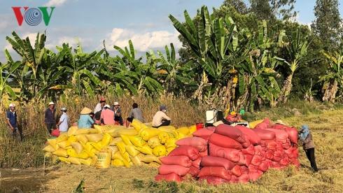 Khi giá lúa tăng, nông dân không còn lúa để bán