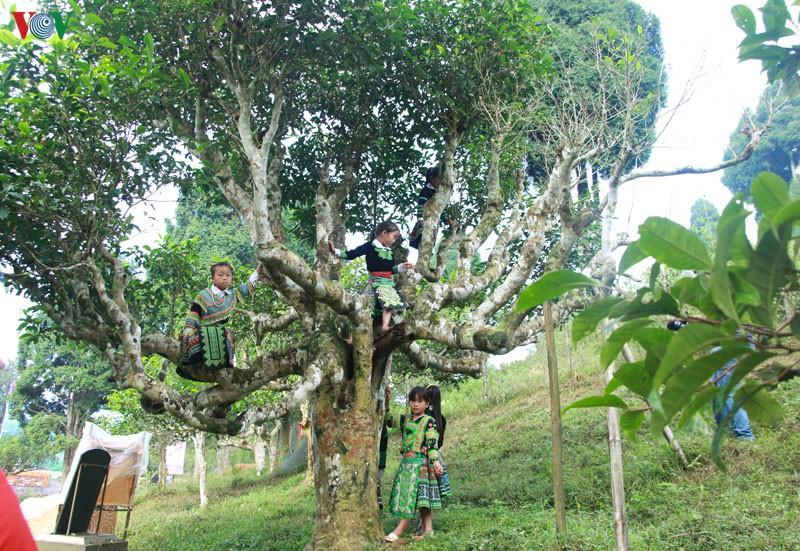 Người Trung Cộng thuê cây chè cổ thụ ở Hà Giang với mục đích đáng ngờ