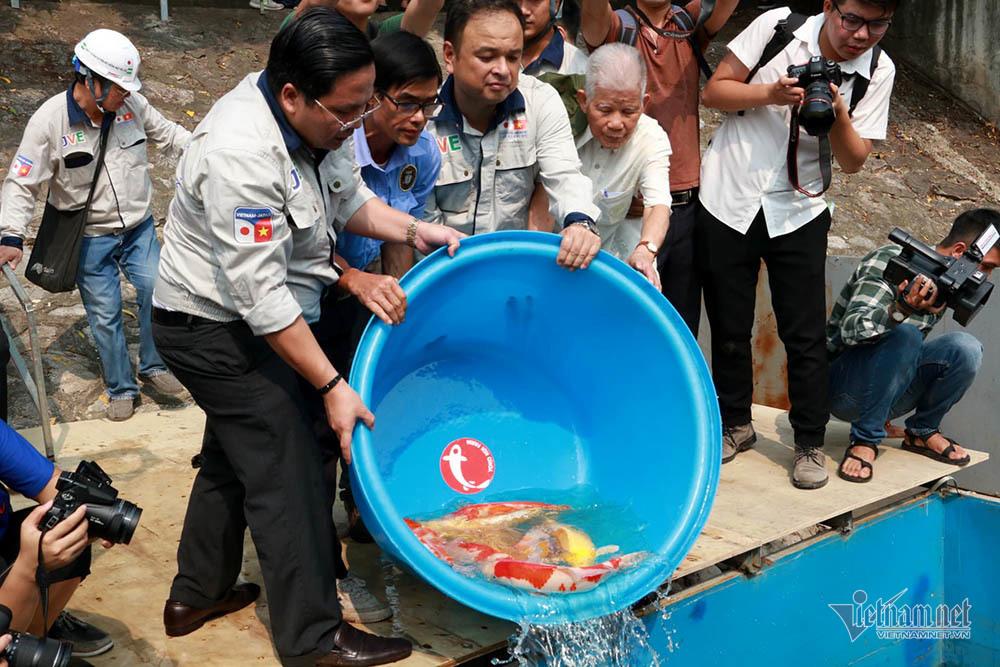 Cá Koi Nhật thả trên sông Tô Lịch có dấu hiệu bị đầu độc chết?